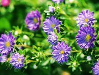 : Freshness flowers asters on blured background.