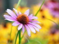 Photographer: Popkova Olga: Blooming medicinal herb echinacea purpurea or coneflower, close-up